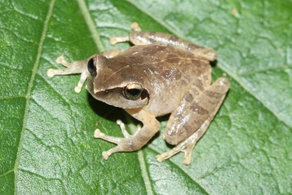 Pseudophilautus amboli b
