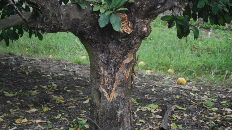 Enfermedades en los cultivos leñosos