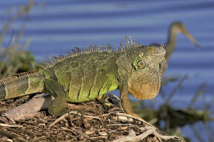 El peligro de la adquisición de mascotas exóticas que pueden convertirse en especies invasoras si se abandonan
