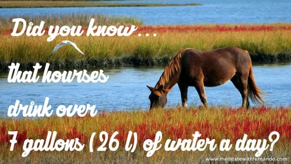 Horses drink dozens of gallos of water a day.