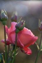 Roses and Flowers Hastings East Sussex 2017 July 09, 2017 IMG_9532