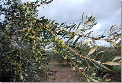 OlivesSM