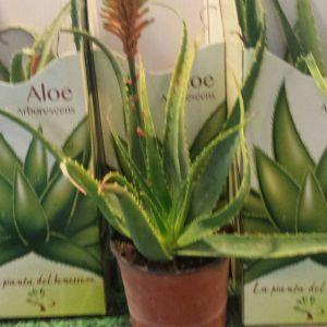 Aloe vera in vaso