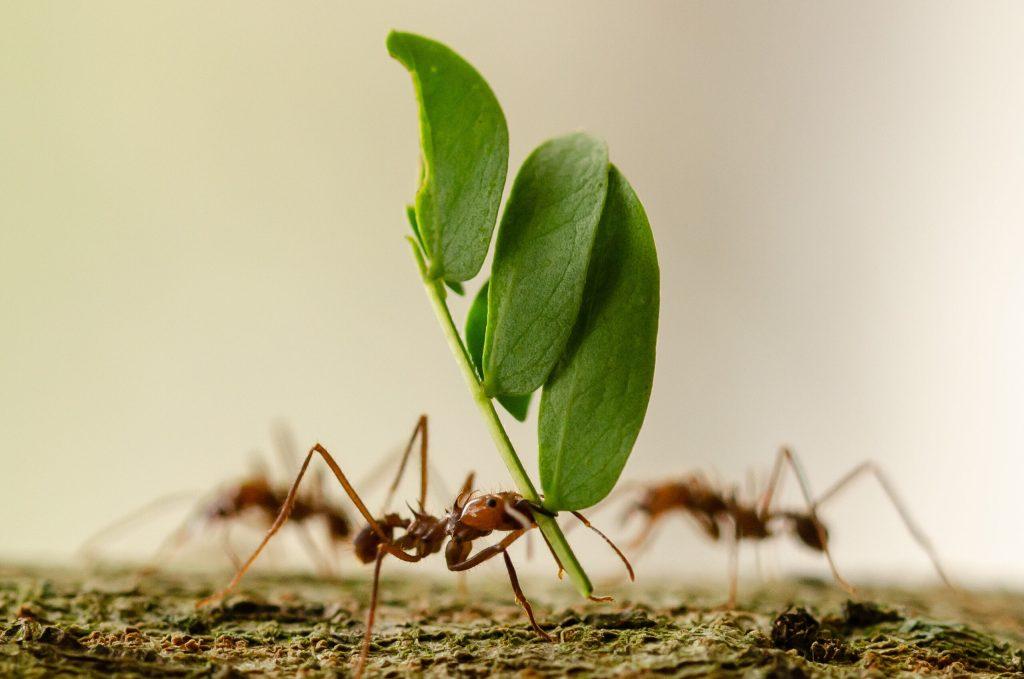Le formiche riescono a trasportare pesi molto grandi rispetto la loro stazza.