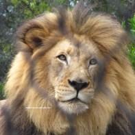sd lion