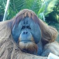 sd orangutan