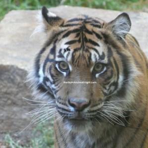 sd safari tiger