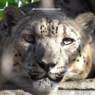 sd snow leopard 2