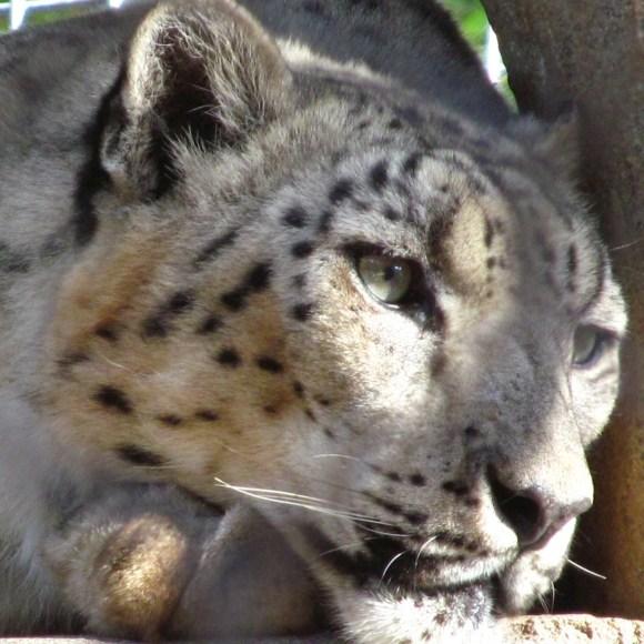 sd snow leopard