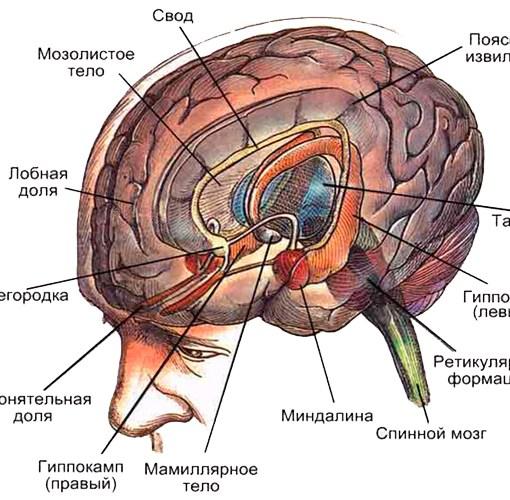 Реферат - Общий обзор структуры и функциональное значение лимбической системы мозга