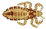 Pediculus humanus capitis (Kutu Kepala)