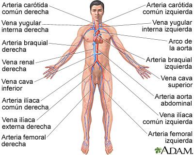 Sistema circulatorio: MedlinePlus enciclopedia médica illustración
