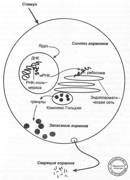 Синтез белковых/полипептидных гормонов при стимуляции эндокринной клетки