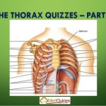 The Thorax 2