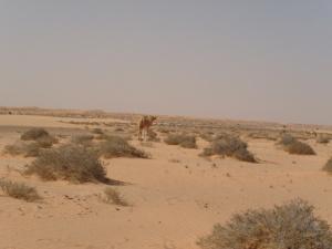 arguin_desert-04-chameau