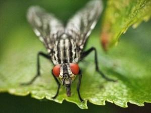 Horsefly - Bites & Stings