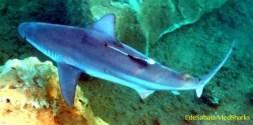 """Per sei anni MedSharks ha seguito gli squali grigi (Carcharhinus plumbeus) in una piccola baia """"segreta"""" della Turchia"""