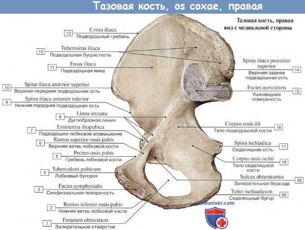 Анатомия : Подвздошная кость.