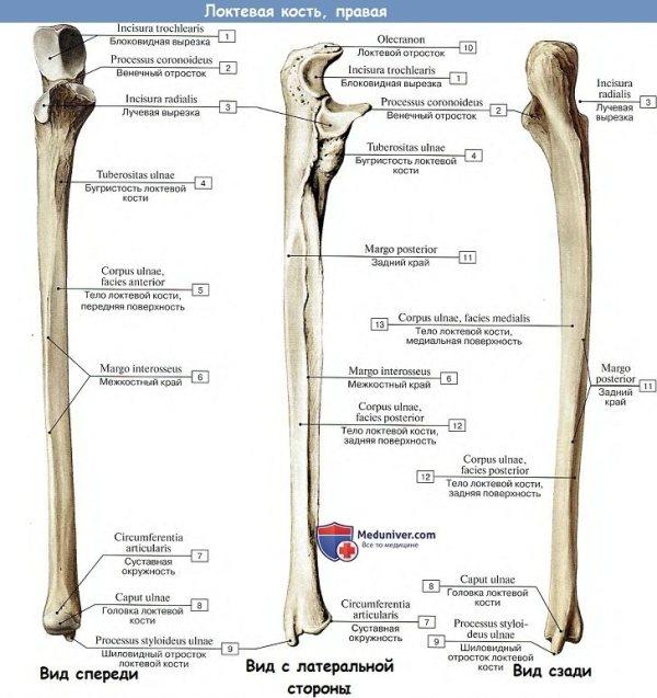 Где находится лучевая кость на руке фото - все о суставах