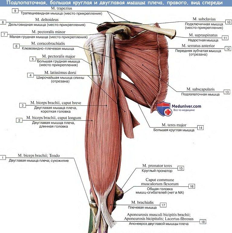 mușchiul articulației umărului