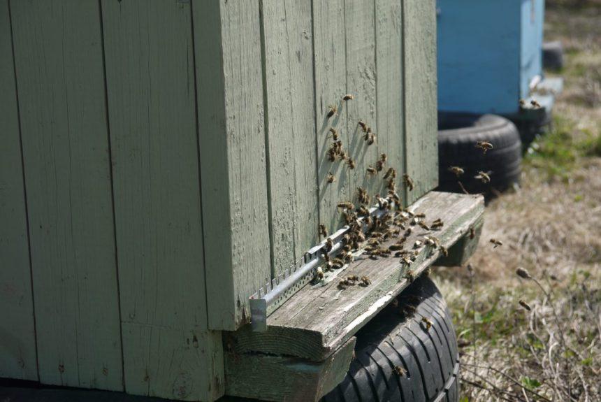 работа пчелы на иве