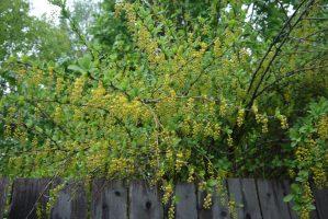 цвет барбариса