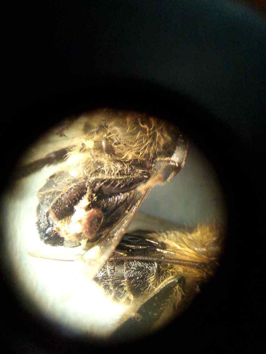 Клещ на пчеле