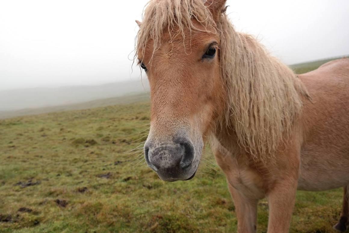 Faröer Pony
