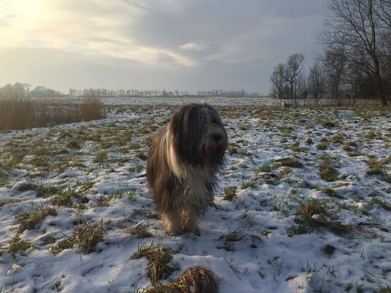 Bearded Collie im Winter