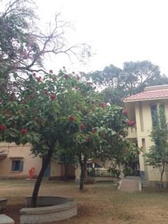 Flowering tree at Kala Bhavan