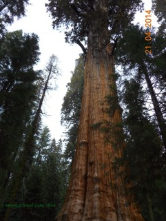 Looking up at a giant sequoia