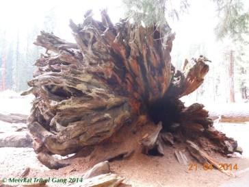 Trunk of a fallen sequoia