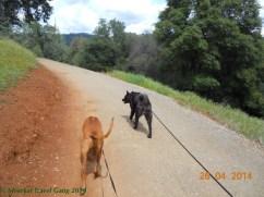 Rhodesian ridgeback: Aries and Akita: Sam
