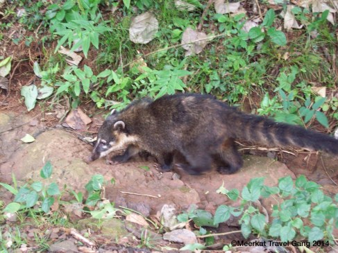 Big raccoon-y, ferrety, cat-looking things. They seem harmless, but damn, they have sharp-looking teeth.