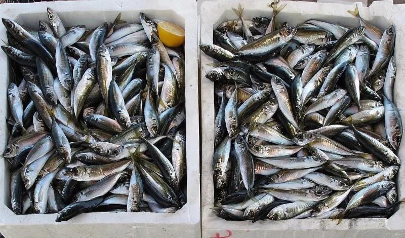 Fisch Überfischung Klimawandel in Skandinavien