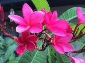 <y first spring bloom of the fragrant plumeria!
