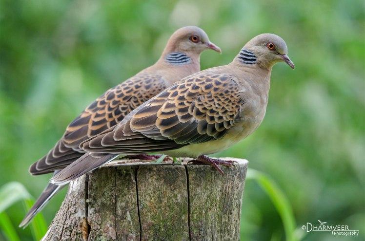 Guilt Offering Oriental Turtle Doves