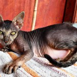 Alien cat in Bukit Lewang