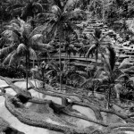 Black and White paddy fields