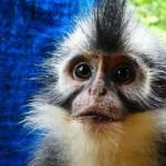 Thomas Leaf Monkey Jungle Trek Bukit Lewang 2