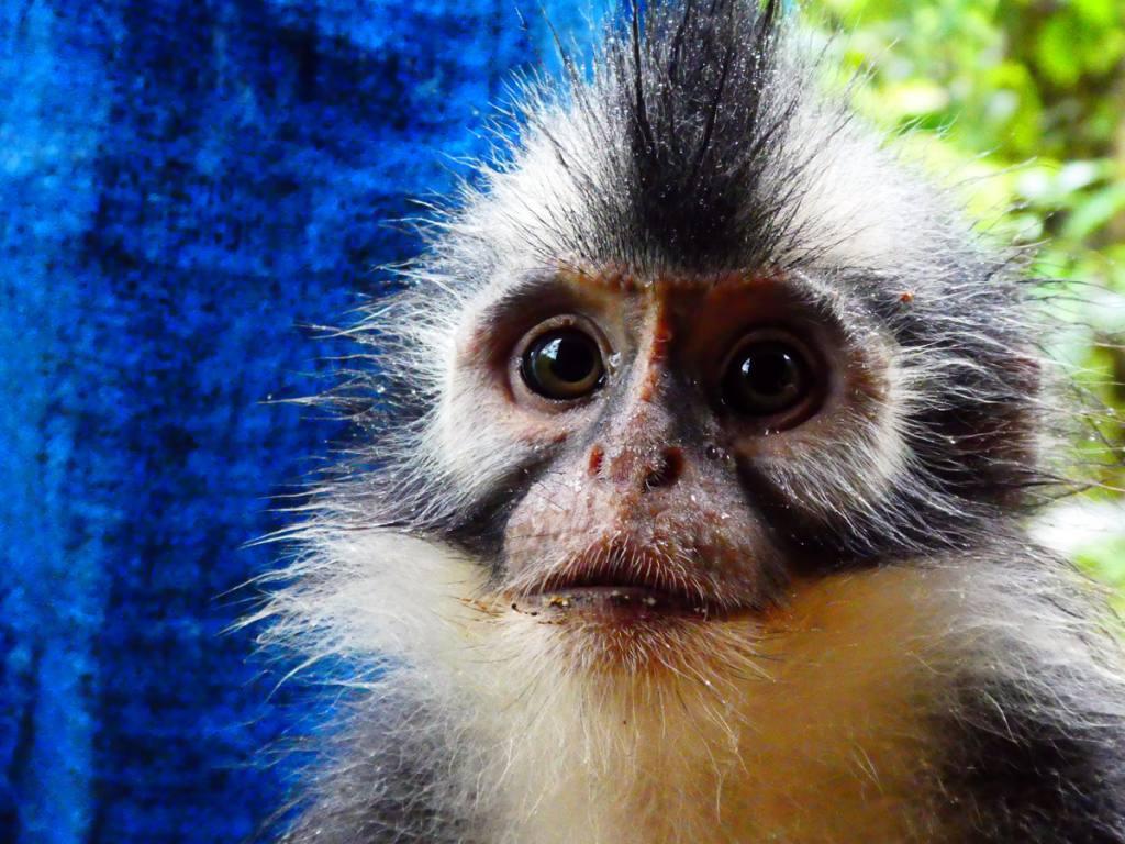 Orangutang Trekking in Indonesia - witnes firsthand the plight of 'Rang-Tan' | Orangutan Jungle Trek on Sumatra Island in Indonesia | Best Wildlife Encounters | Bucketlist Things To Do | Save the Orangutans #OrangutanTrek #JungleTrekIndonesia #IndonesiaOrangutans #SaveTheORangutans #SaveRangTang #DitchPalmOil #JungleTrekkingInIndonesia #OrangutanJungleTrekInSumatra #EndangeredSpecies #BackpackingIndonesia #BackpackingSumatra #VisitIndonesia #BackpackBecki