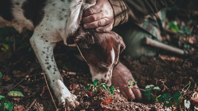 cane da tartufi durante la ricerca
