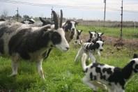 Galloping lambs