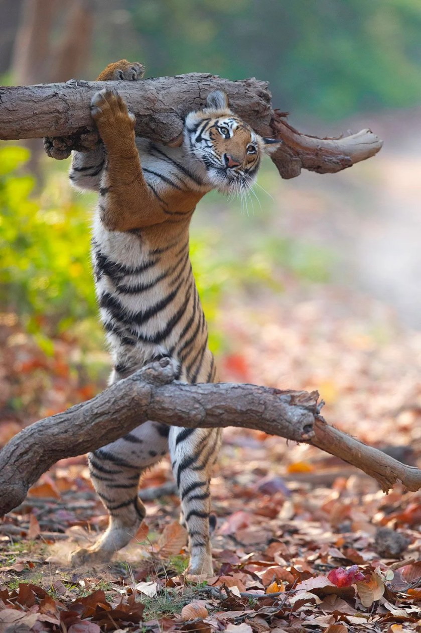 (Source: Siddhant Agrawal - Comedy Wildlife Photography Awards 2021 / Reproduction)