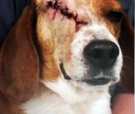 Alguns cães usados em testes do Instituto Royal estavam mutilados.