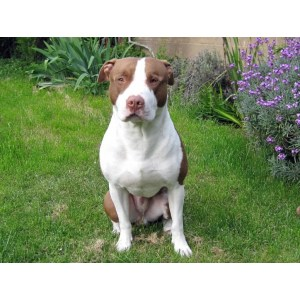 Ritzy Sale Sale Craigslist Blue Nose Pitbull Puppies New York