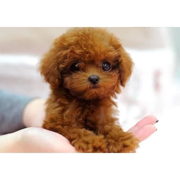 maltese puppy for sale near me teacup maltese puppies for sale near me 7192
