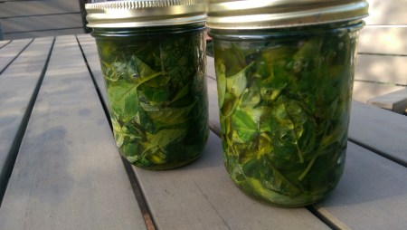 Basil infused oil - should be ready in 2 or 3 weeks.