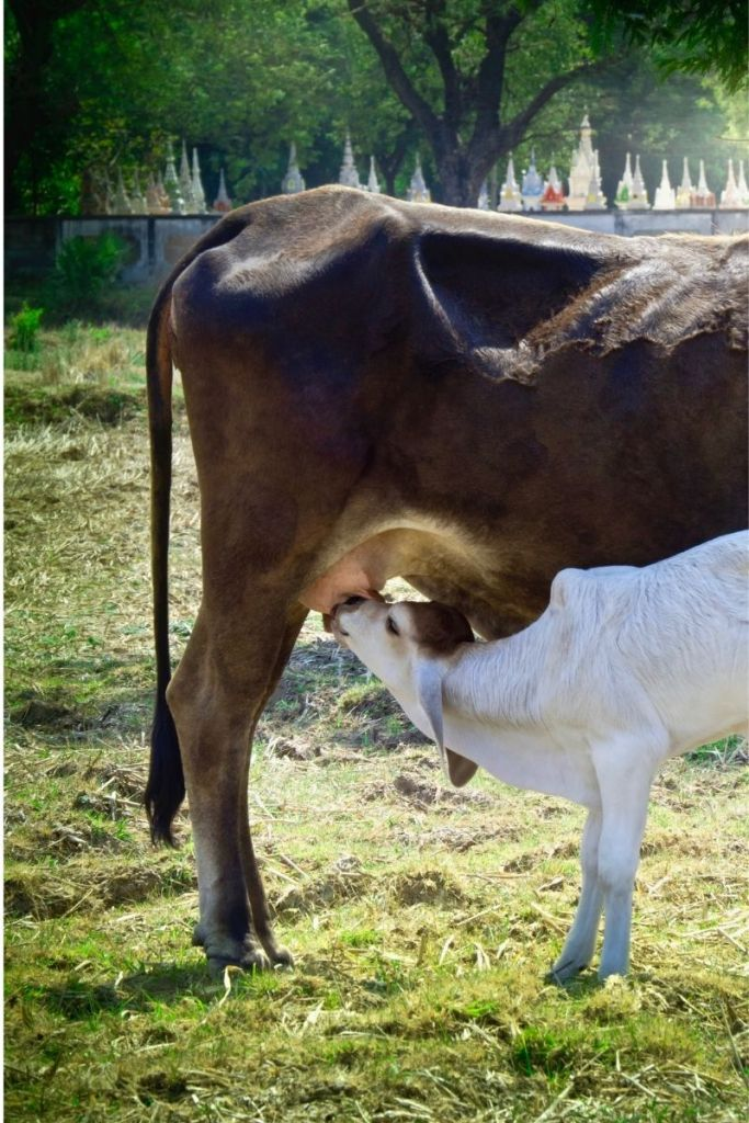 A baby cow drinks milk from its mother