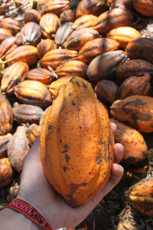 Cacao Pods: the Beginning of Chocolate, at Earth Rose Farm, Costa Rica 2014